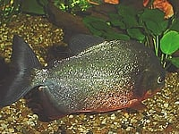 General information about Piranha's 8
