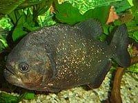General information about Piranha's 9