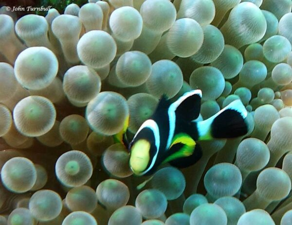 Amphiprion mccullochi - Whitesnout Anemonefish - Juvenile