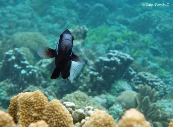 Amphiprion mccullochi - Whitesnout Anemonefish - Attacking diver