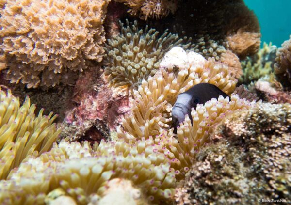 Amphiprion mccullochi - Whitesnout Anemonefish
