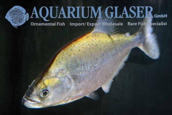 Serrasalmus geryi - Geryi's Piranha