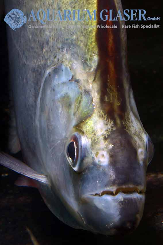 Serrasalmus geryi - Geryi's Piranha - Close up