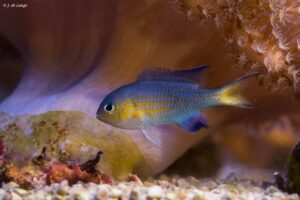 Chromis nigrura - Blacktail Chromis