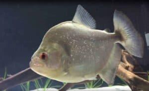 Serrasalmus rhombeus - Red Eye Piranha