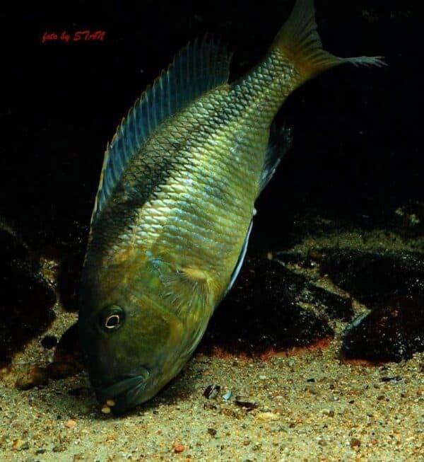 Buccochromis heterotaenia - Female picking up eggs