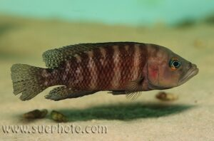 Neolamprologus obscurus - Katete