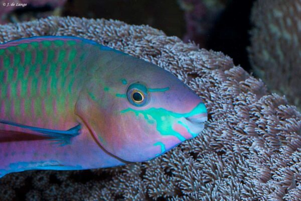 Scarus quoyi - Green Blotched Parrotfish