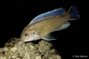 Labidochromis vellicans - Nakantenga